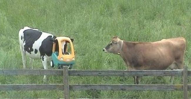Insólito - vaca
