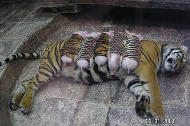 Mães coragem que adotaram filhos de outras espécies - a tigre-fêmea que adotou uma vara de porquinhos.