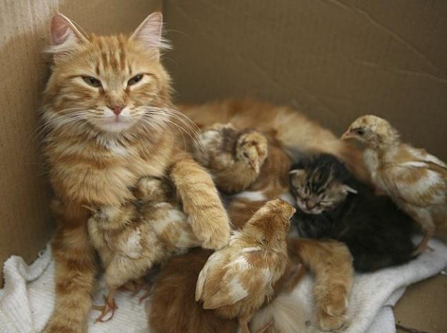 Mães coragem que adotaram filhos de outras espécies - a gata que adotou pintainhos