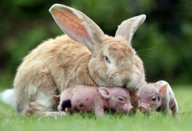 Mães coragem que adotaram filhos de outras espécies - a coelha que adotou porquinhos