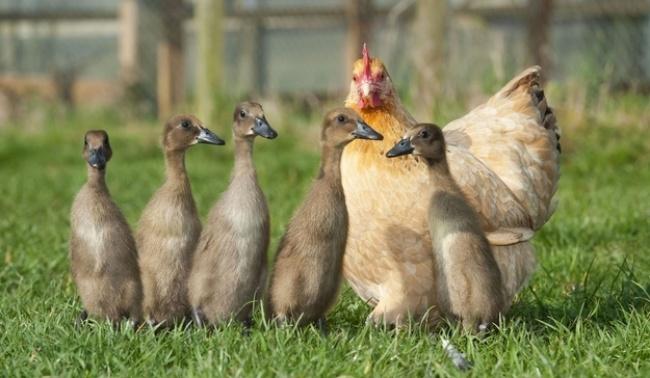 Mães coragem que adotaram filhos de outras espécies - a galinha que adotou patos