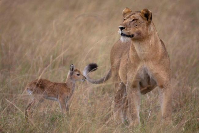 Mães coragem que adotaram filhos de outras espécies - a leoa que adotou uma gazela
