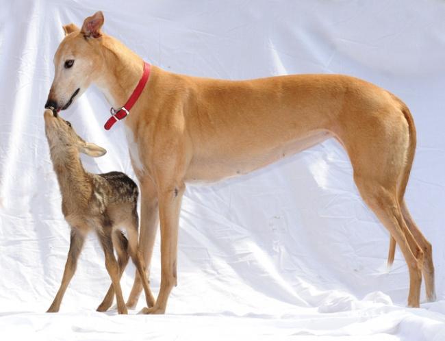 Mães coragem que adotaram filhos de outras espécies - beijo entre esta majestosa cadela e um pequeno veado