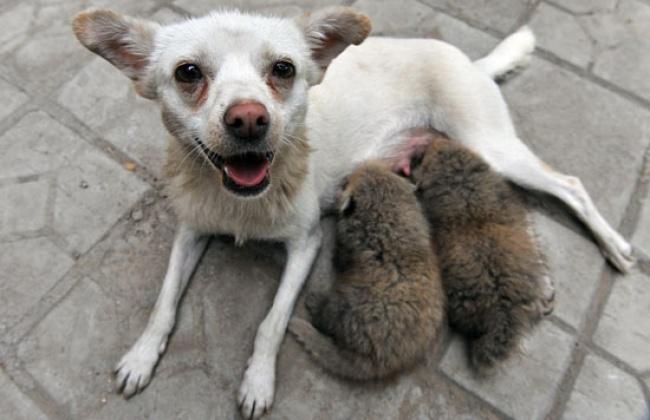 Mães coragem que adotaram filhos de outras espécies - a chihuahua que amamenta dois pequenos furões