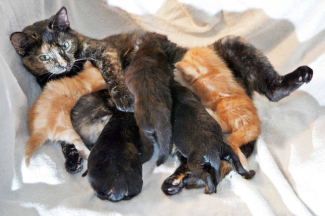 Mães coragem que adotaram filhos de outras espécies - a gata que adotou cachorros rottweiler