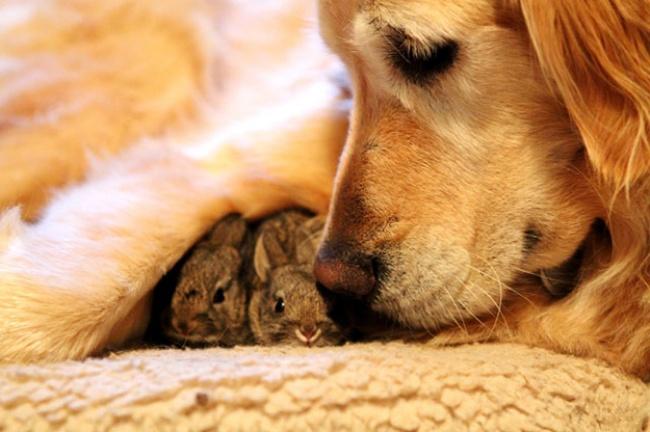Mães coragem que adotaram filhos de outras espécies - esta Golden Retriever apaixonou-se pelo coelhinhos