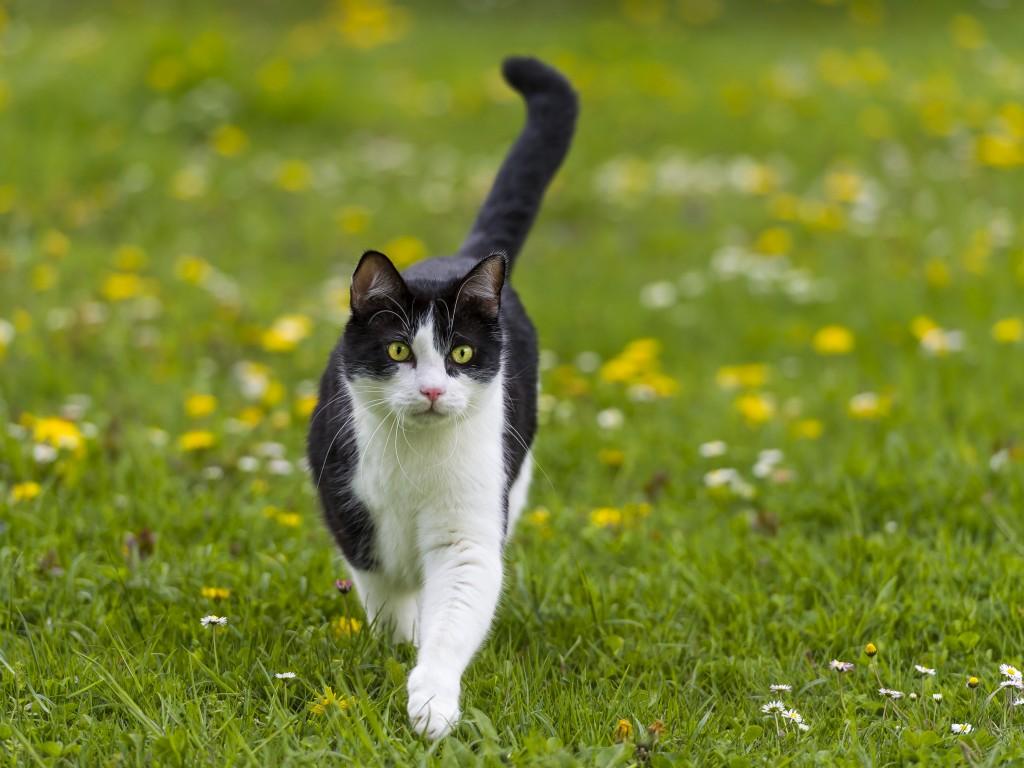 Factos sobre gatos -  O gato doméstico é a única espécie que consegue manter a sua cauda ereta enquanto anda. A cauda é responsável pelo equilíbrio do gato