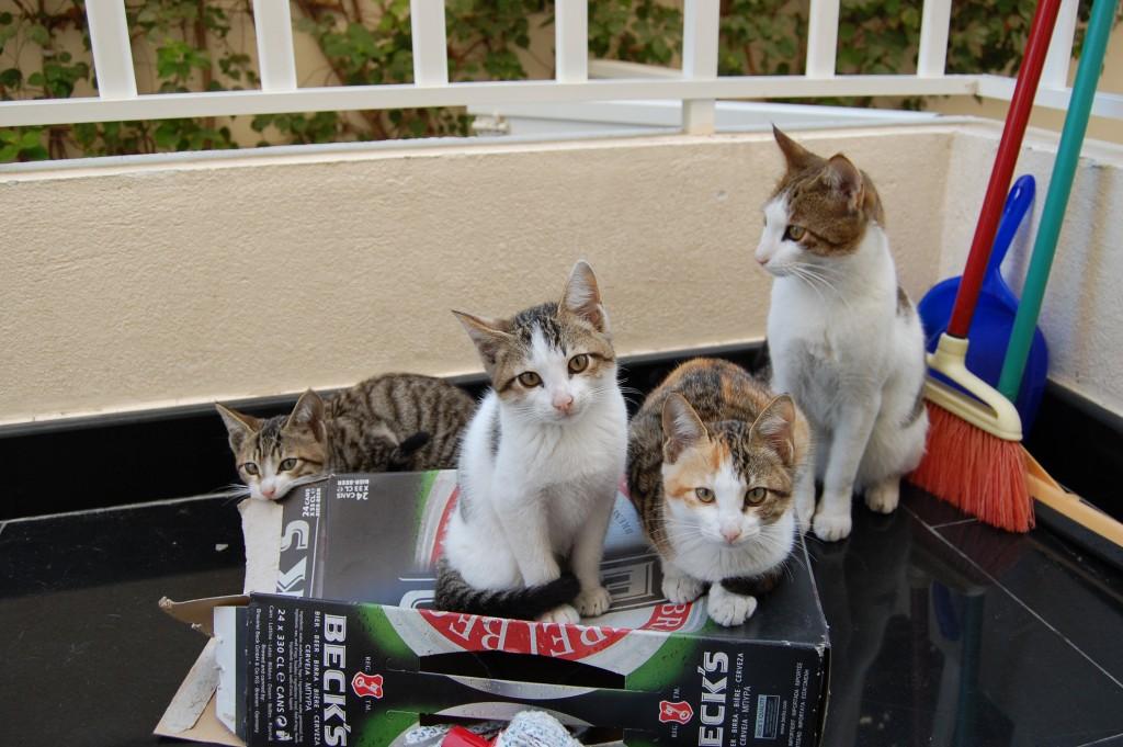 Factos sobre gatos - Em apenas sete anos, um par de gatos e os seus descendentes podem dar origem a mais de 420 000 gatos