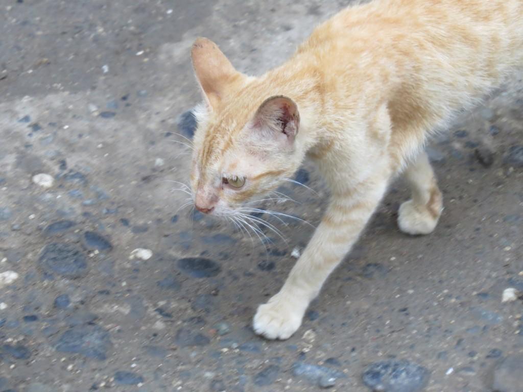 Factos sobre gatos  - Os gatos são digitígrados