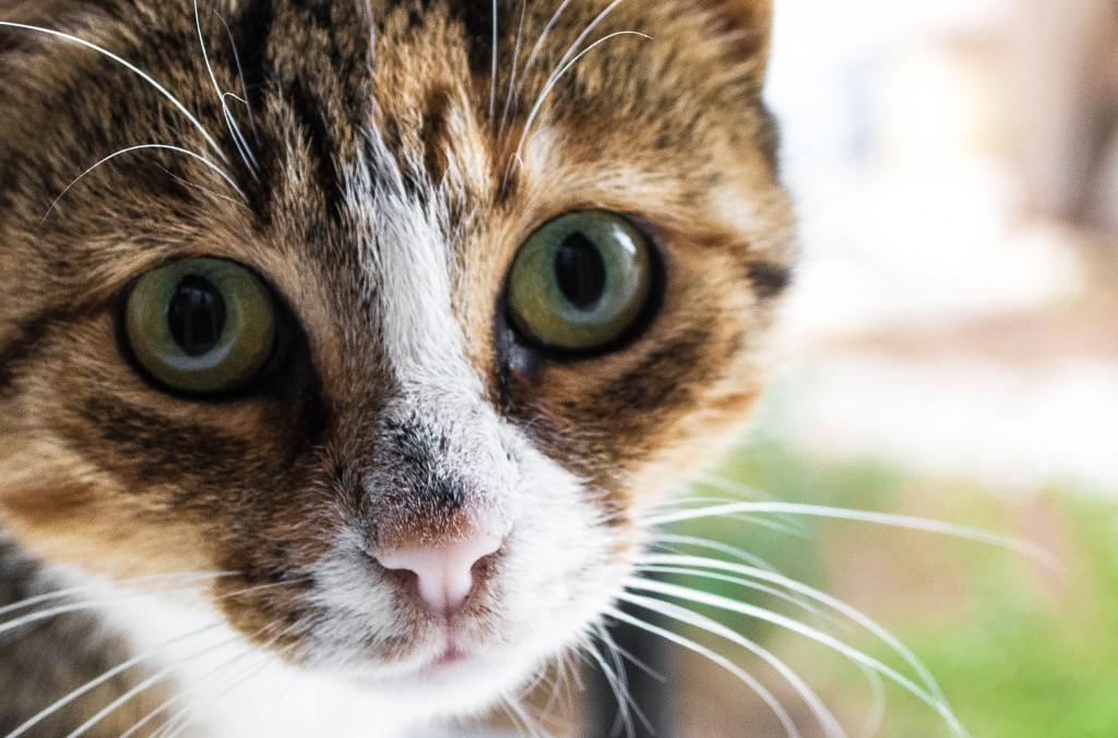 Factos sobre gatos - Em proporção ao corpo, os gatos são os mamíferos que possuem os maiores olhos