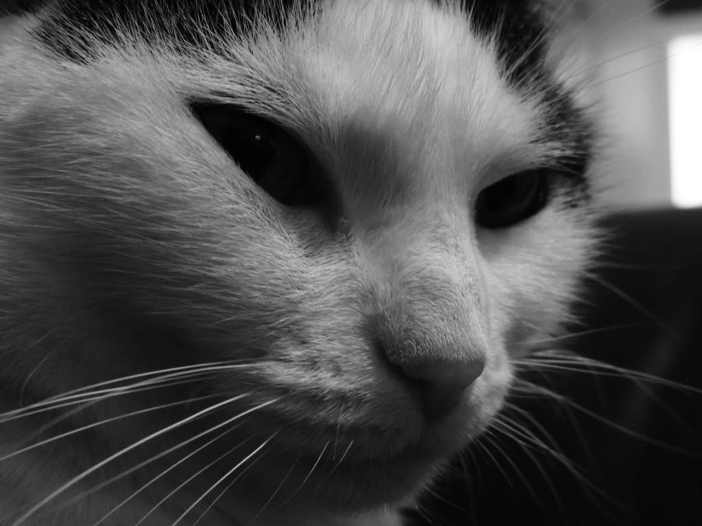 Factos sobre gatos -  O padrão do nariz de um gato é totalmente único, à semelhança da impressão digital do homem