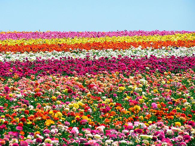 13 Campos de flores maravilhosos - Carlsbad Ranch, Califórnia, EUA