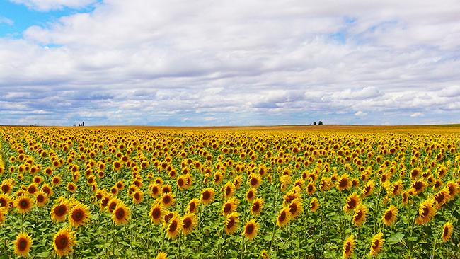 13 Campos de flores maravilhosos - Campos de girassóis, Espanha