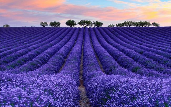 13 Campos de flores maravilhosos - Campos de lavanda, Provença, França