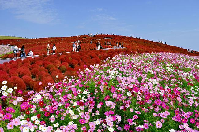 13 Campos de flores maravilhosos - Hitachi Seaside Park, Hitachinaka, Japão