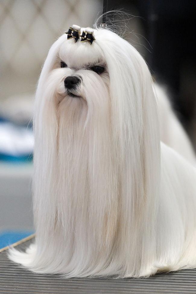 Penteados de ganir por mais - tosquia de cadela, penteada com lacinhos