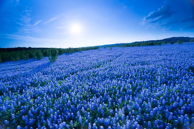 13 Campos de flores maravilhosos - Bluebonnet, Texas, EUA