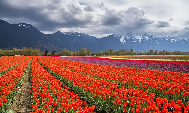 13 Campos de flores maravilhosos - Agassiz, British Columbia, Canadá