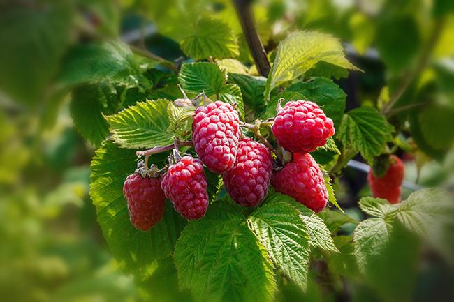 Top 10 frutos menos calóricos - framboesas