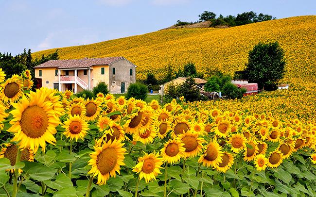 13 Campos de flores maravilhosos - Campos de girassóis, Toscânia, Itália