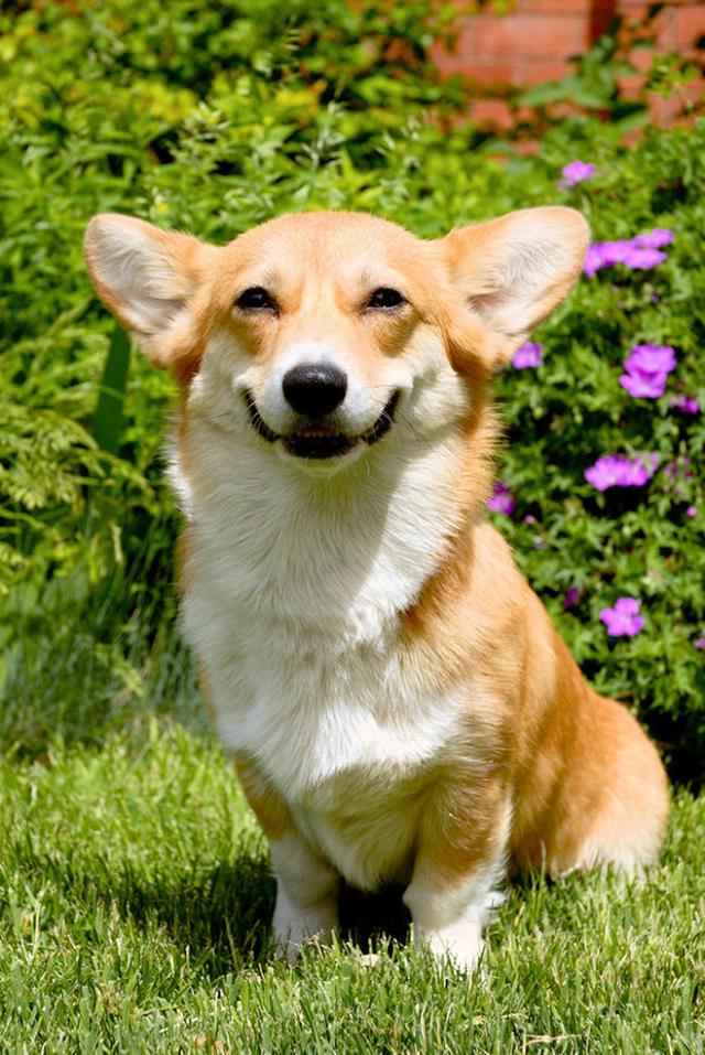 Sorria com os animais mais simpáticos do mundo - corgi, cão a sorrir