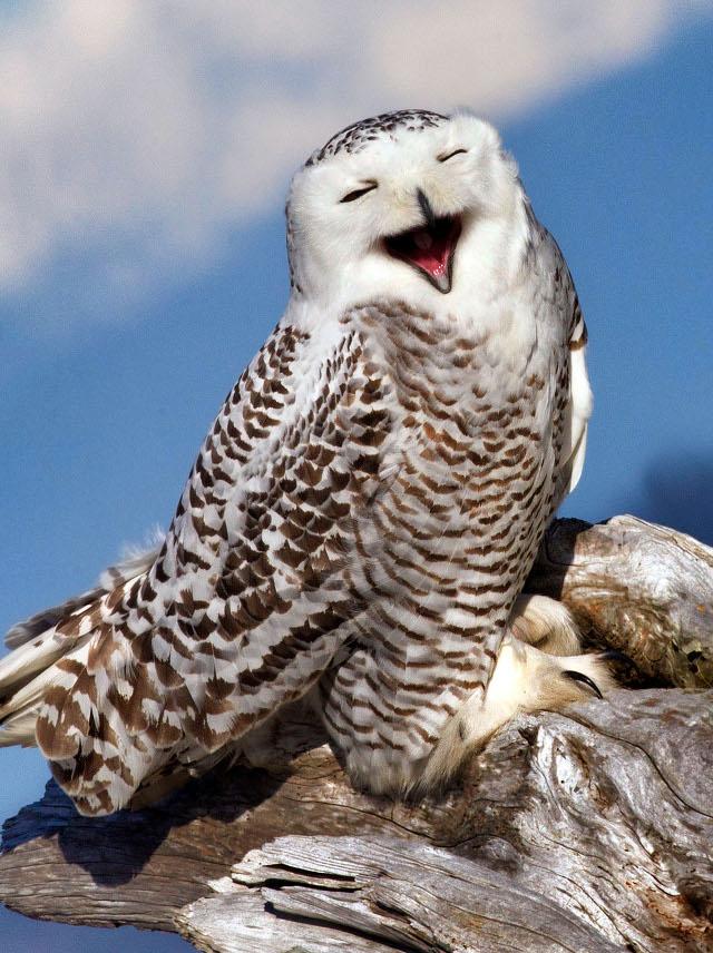Sorria com os animais mais simpáticos do mundo - coruja a sorrir