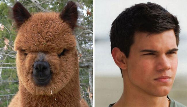 Celebridades que têm um animal parecido com elas - Taylor Lautner