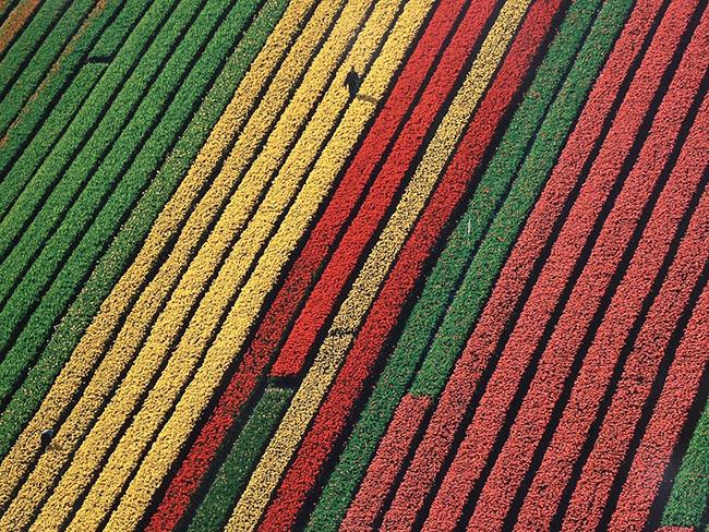 Paisagens espetaculares - Plantação de tulipas, Amesterdão