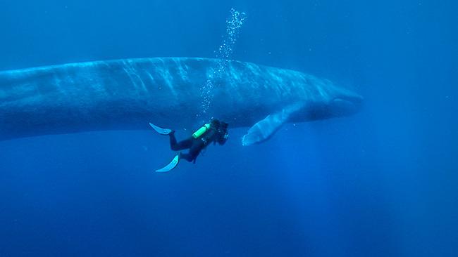 Os maiores do mundo: omaior animal do mundo - baleia azul