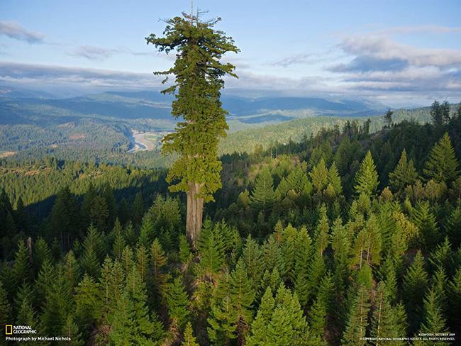 Os maiores do mundo: a maior árvore do Mundo - Hyperion, Redwood National Park, Califórnia, Estados Unidos