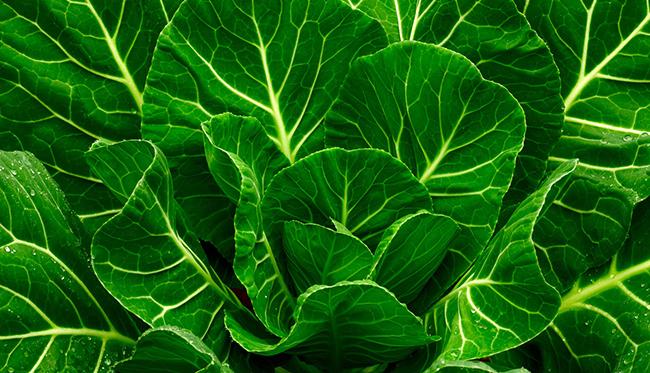 Frutos e vegetais que ajudam a manter a pele bronzeada - Couve