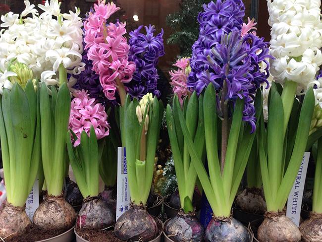 O significado das flores - Jacinto