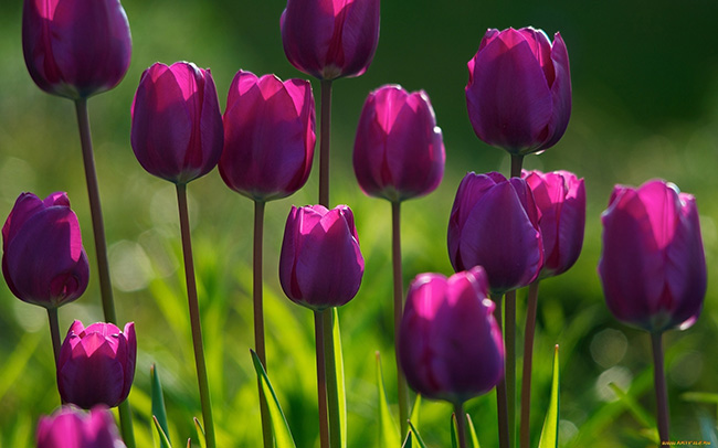 O significado das flores - Tulipa