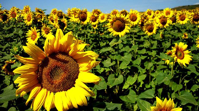 O significado das flores - Girassol