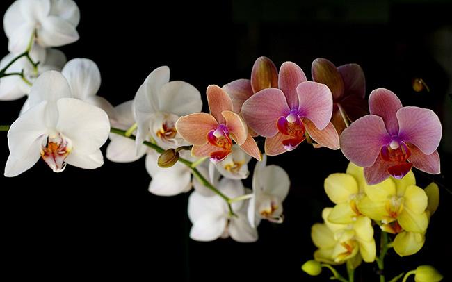 O significado das flores - Orquídeas