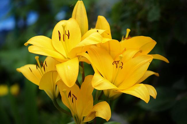 O significado das flores - Lírios