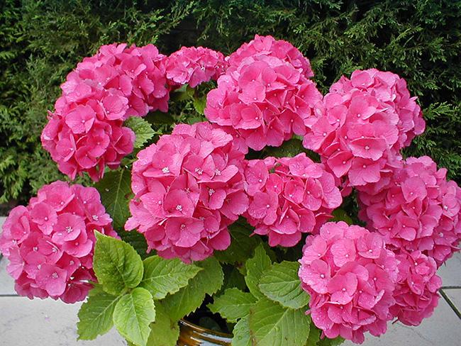 O significado das flores - Hortênsias