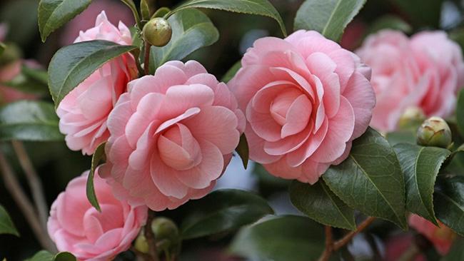O significado das flores - Camélas