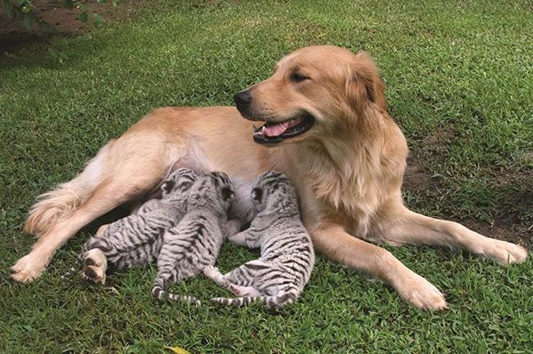 Animais amorosos - a cadelinha que adotou 3 alegres tigres