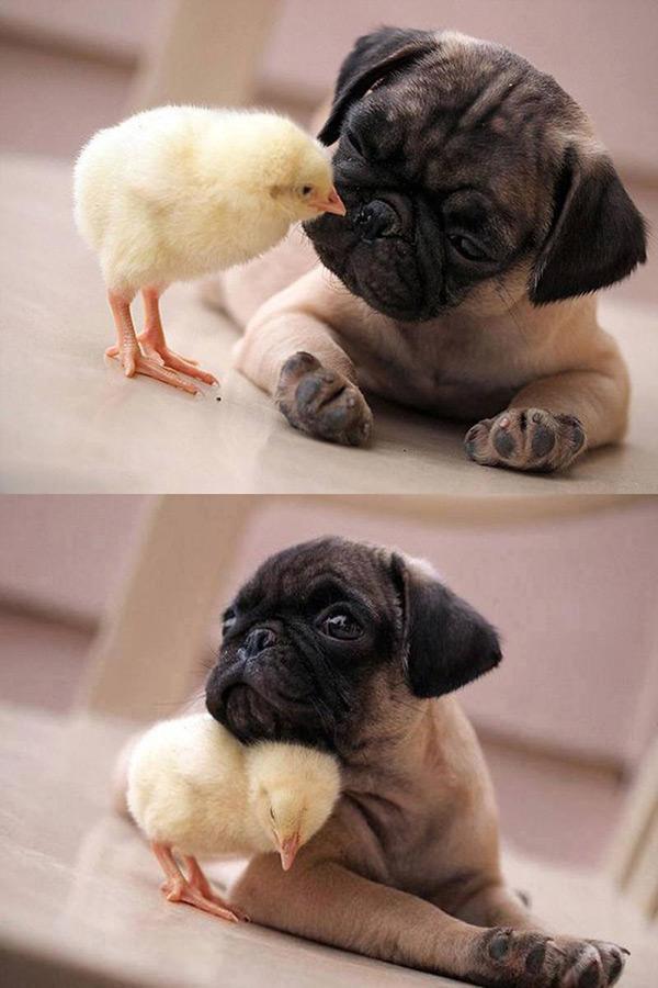 Animais amorosos - Um pintainho e cão