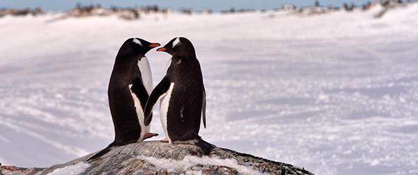 Animais amorosos - pinguins leais
