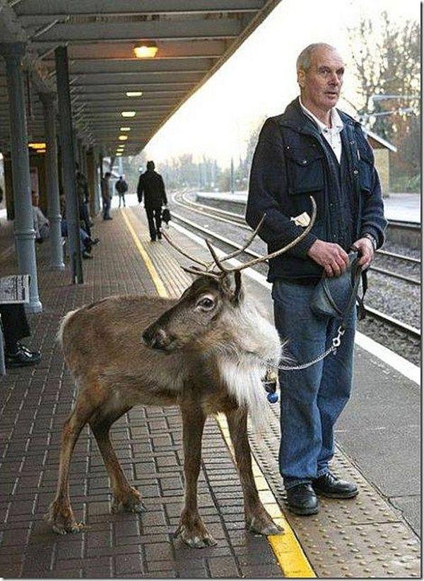 Animais domésticos absolutamente improváveis - uma rena