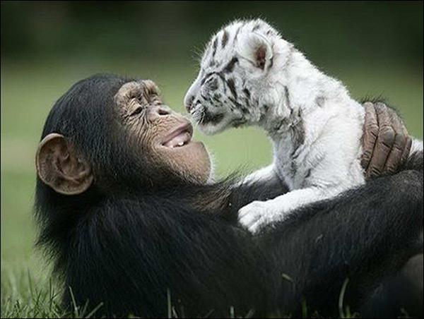 Animais amorosos - o chimpanzé que adotou um tigre bebé