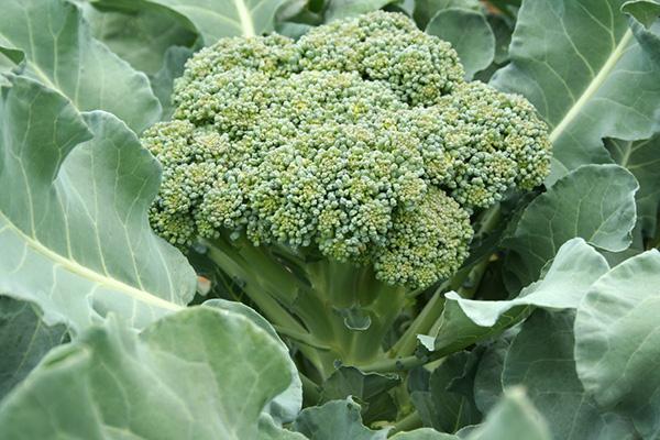 Benefícios dos brócolos - AJUDAM A REGULAR A TENSÃO ARTERIAL