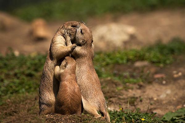 Animais amorosos - casal de marmotas apaixonadas