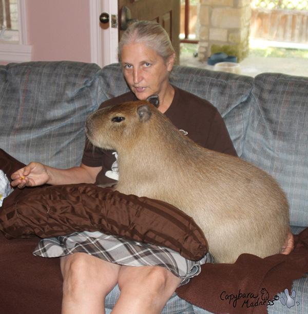 Animais domésticos absolutamente improváveis - capivara