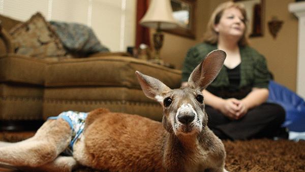 Animais domésticos absolutamente improváveis - canguru Irwin