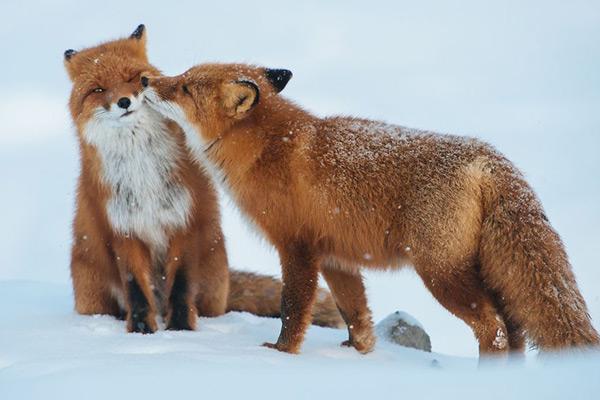 Animais amorosos - raposa matreira