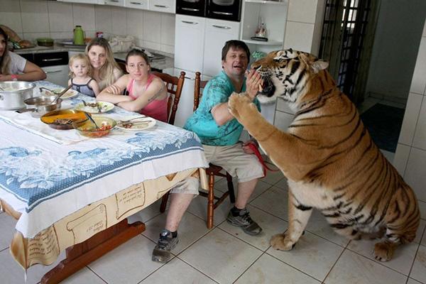 Animais domésticos absolutamente improváveis - tigre