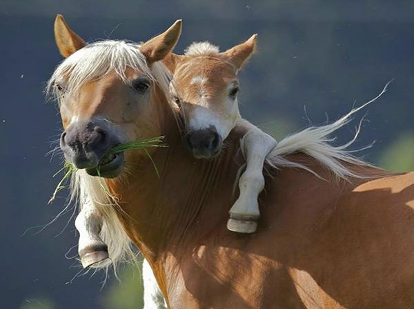 Animais amorosos - mamã pónei e o seu filhote